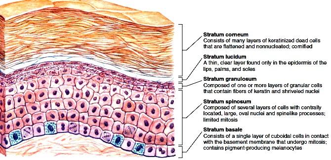 Structure of epidermis